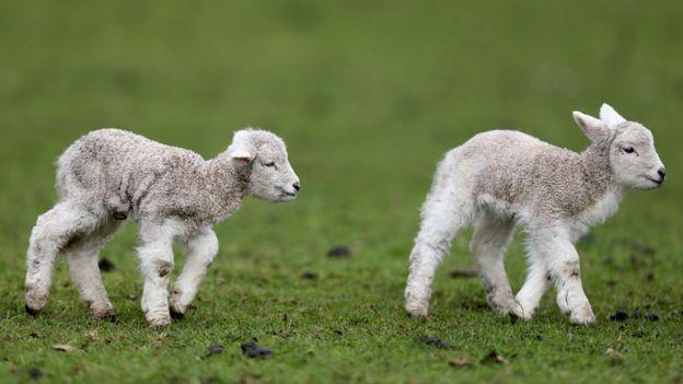 New Zealand lamb