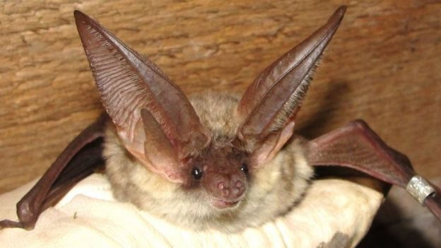 A grey long-eared bat