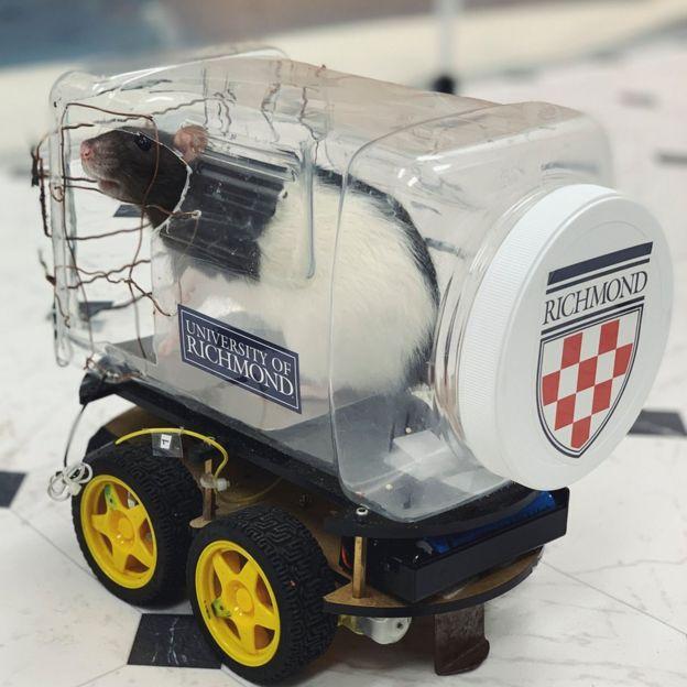 A rat in a little plastic car