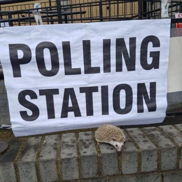 Hedgehog at a polling station