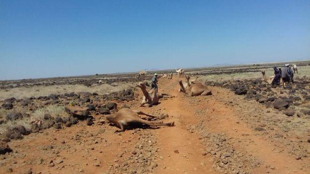 Dead camels