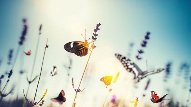 Muchas poblaciones de mariposas están decreciendo, según el estudio. Foto: GETTY IMAGES