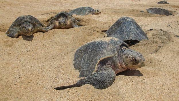 Оливковые черепахи кладут яйца на побережье Мексики