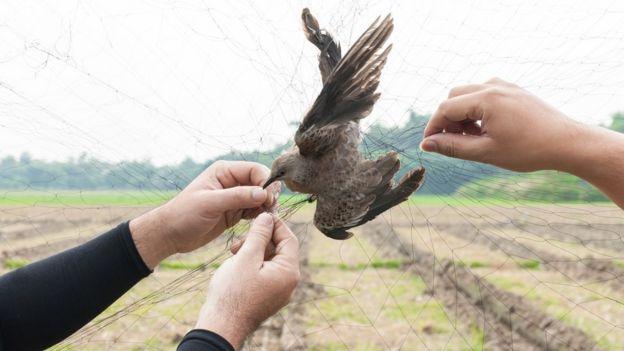 Pessoas manipulam pássaro preso em rede de neblina
