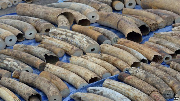 Ivory tusks lined up on a mat in Thailand