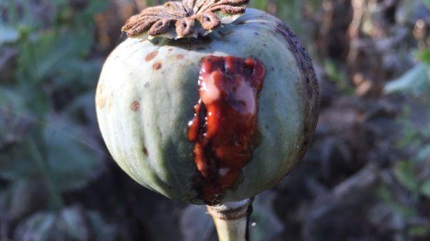 Una amapola destilando savia, que después se convertirá en heroína.