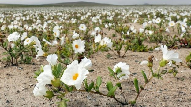View of flowers in the Atacama Desert, Chile, on 17 August 2017.