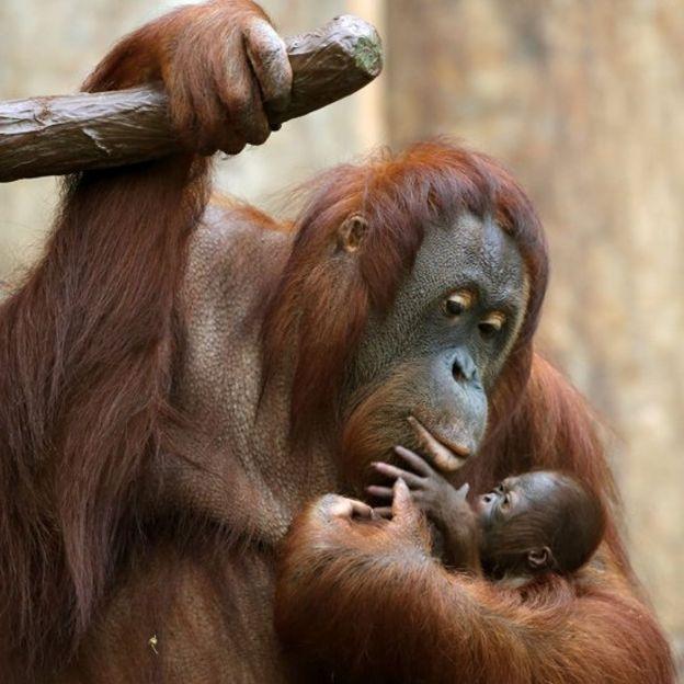 Orangutans at Krefeld Zoo, Dec 2016