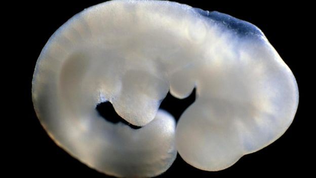 Для создания химеры внутреннюю клеточную массу одного вида мышей ввели в эмбрион другого вида