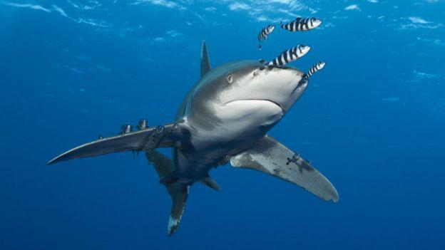 Tiburón oceánico de punta blanca