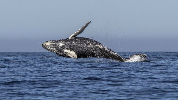 A humpback whale (Megaptera novaeangliae) jumps out of the Pacific Ocean's waters in Los Cabos, Baja California Sur, Mexico on March 14, 2018