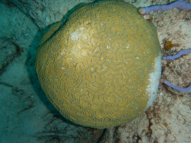 Newly infected brain coral West Caicos May 2019