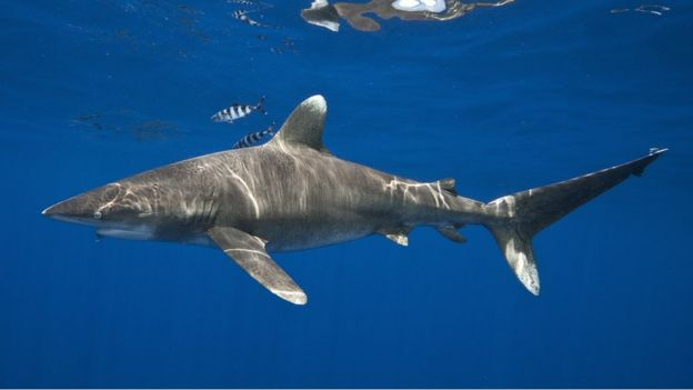 the new sharks coming to uk as temperatures rise bbc news