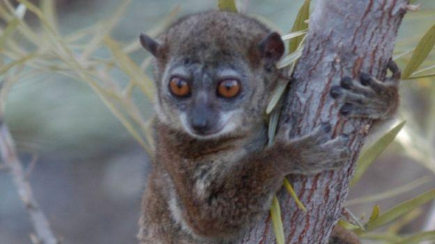 ลีเมอร์นอร์เทิร์นสปอร์ตีฟ (Northern sportive lemur) กำลังอยู่ภาวะวิกฤต