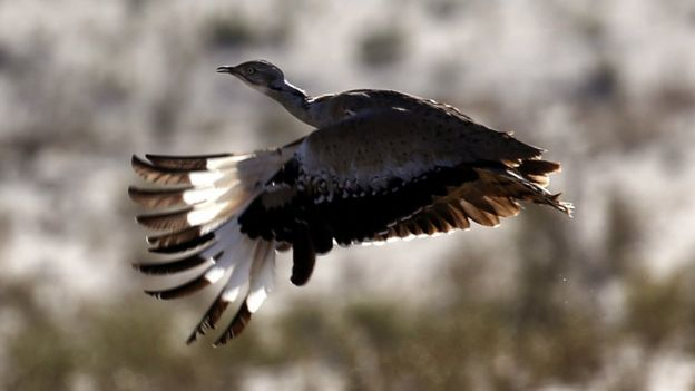 An Asian Houbara bustard flies during a falconry competition in Hameem, west of Abu Dhabi, UAE 9 December 2014