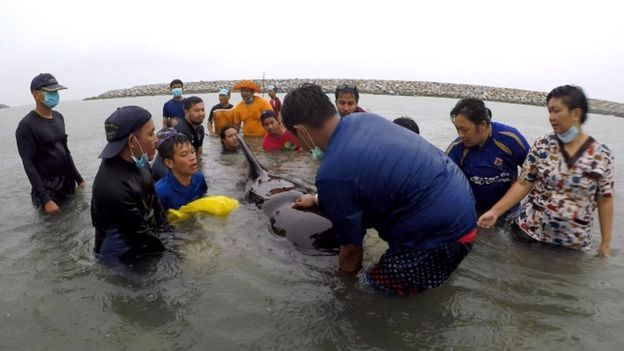 Ambientalistas tentando salvar baleia na Tailândia