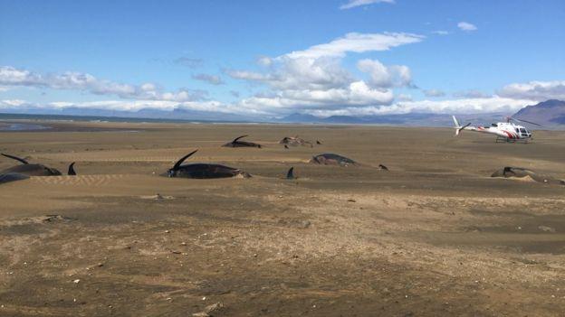 Dead pilot whales on Iceland beach