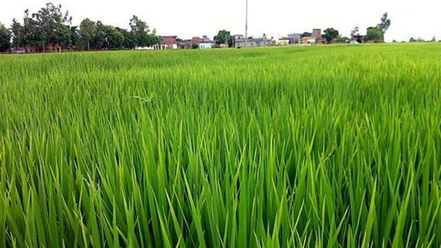 Rice farm for India