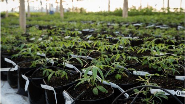 Cultivo de maconha