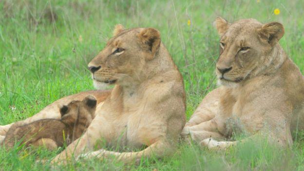 Imagem mostra duas leoas e um filhote deitados no meio do mato