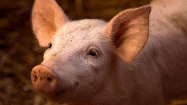 Cerdo.
