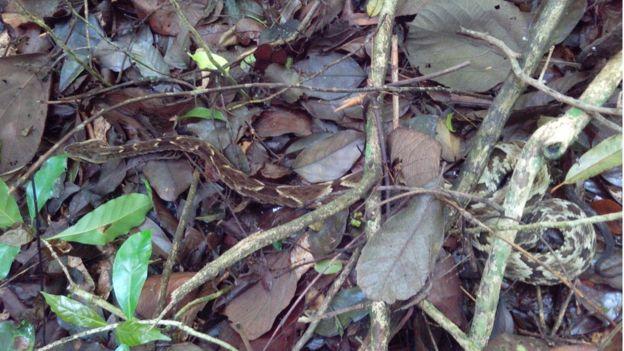 Jararaca em movimento no Parque Estadual da Cantareira