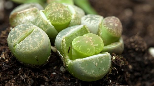 Close up of a green lithops plant
