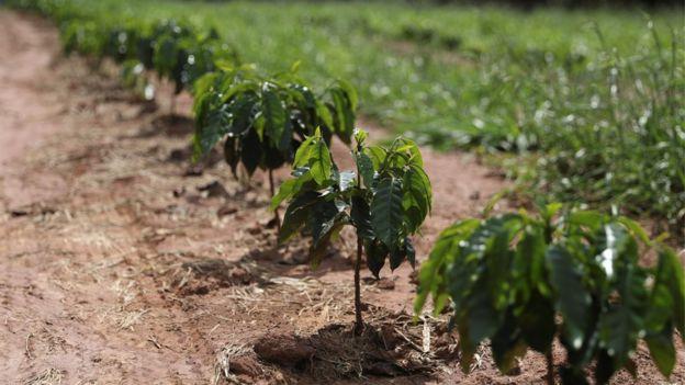 Plantação de café em Minas Gerais