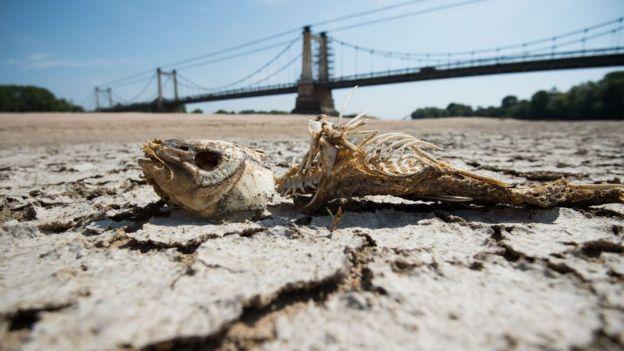 Una espina de pescado en una parte seca del lecho del río Loira en Montjean-sur-Loire, oeste de Francia, el 24 de julio de 2019.