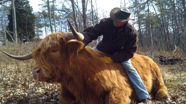 Americans Passion For Highland Cattle Bbc News