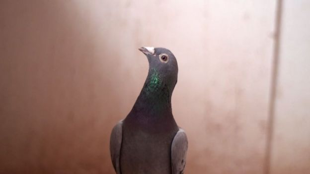Armando, the pigeon