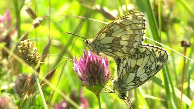 Butterflies mating in a British meadow