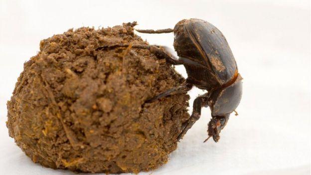 Um escaravelho (Scarabaeus Satyrus) rasteja sobre uma bola de esterco