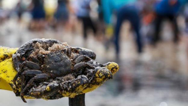 Un cangrejo cubierto con petróleo en Brasil