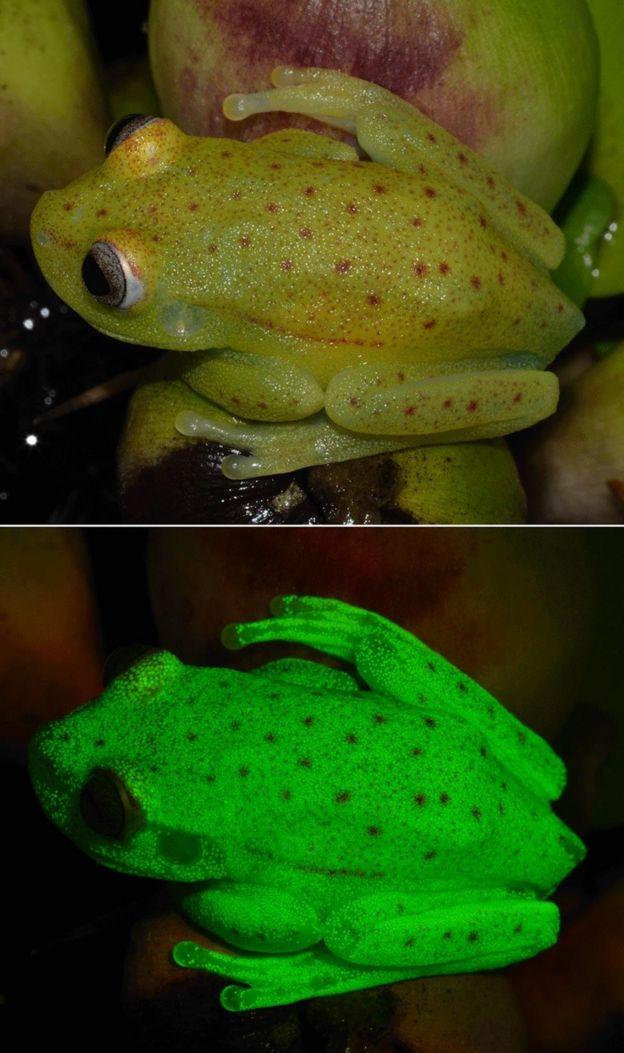 Así es la primera rana fluorescente que han descubierto en el mundo ...