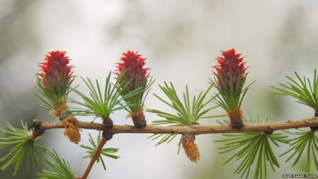 Larch buds (Image: Inger Maaike/Flickr)