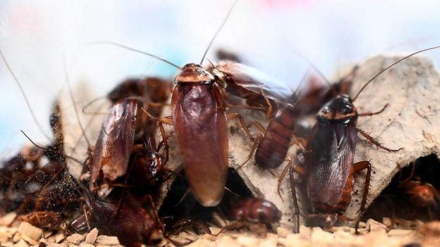 نجحت الصراصير حتى الآن في التكيف مع كافة الكوارث البيئية الضخمة التي هددت بانقراضها
