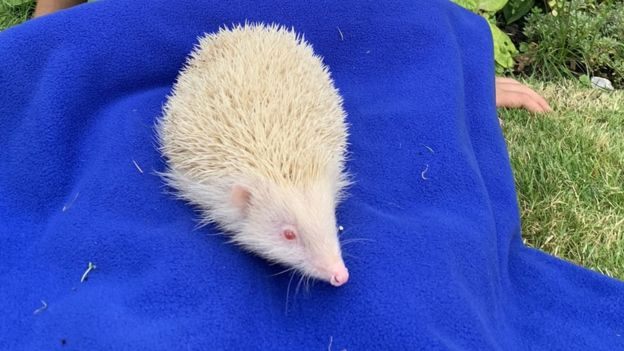 Jack Frost the albino hedgehog