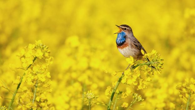 Bluethroat singing in an oilseed rape field.
