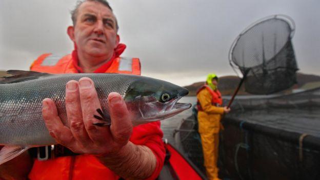 蘇格蘭一處養殖場的三文魚。