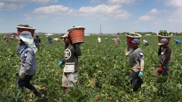 Trabajadores agrícolas en EE.UU. durante la pandemia.