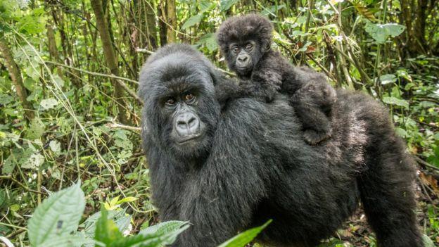 Gorila com bebê no Congo
