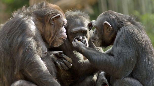 قردة شمبانزي