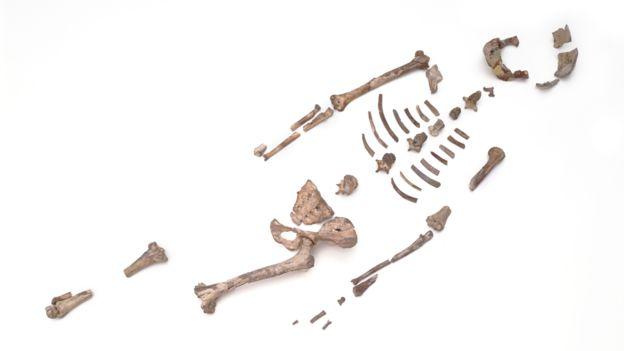 Hueso de Lucy, Australopithecus afarensis