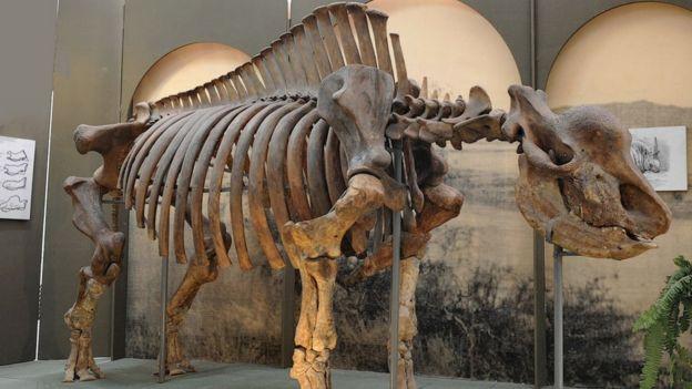 """El esqueleto del rinoceronte """"unicornio siberiano"""" en el Museo de Stavropol, Rusia"""