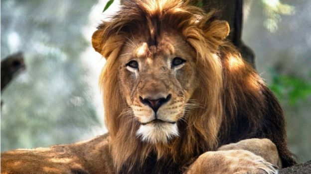 The Indianapolis Zoo's adult male lion named Nyack, which died as the result of injuries inflicted by an adult female lion
