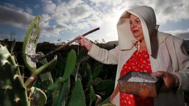 kırmız böceği toplayan Meksikalı kadın