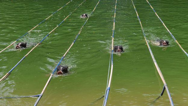 Cinco cerdos nadando en una competencia en China.
