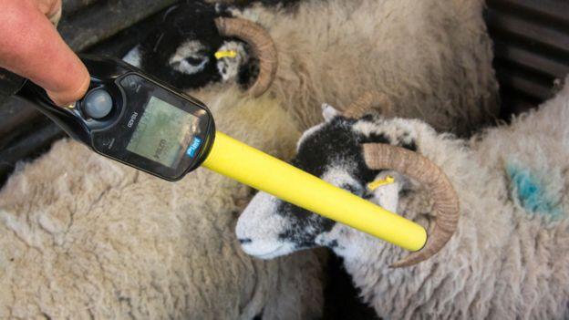 Fazendeiro usa equipamento de leitura de etiqueta RFID em um rebanho de ovelhas
