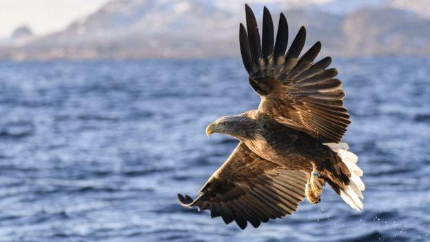 Águia-rabalva voando sobre o mar